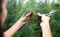 tips-for-growing-industrial-hemp-1280x800